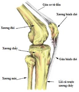 hình ảnh xương bánh chè
