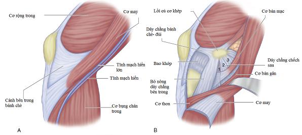 gân cơ may và cơ thon